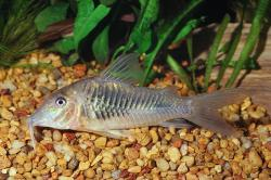 Corydoras(ln1) stenocephalus - Click for species page