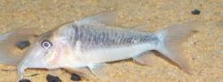 Corydoras(ln1) treitlii - Click for species page