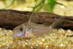Corydoras(ln6) albolineatus - Click for species page