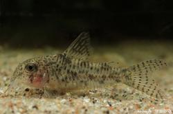 Corydoras(ln6) cochui - Click for species page