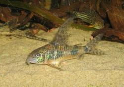 Corydoras(ln6) longipinnis - Click for species page
