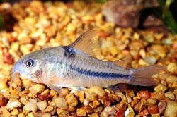 Corydoras(ln6) nattereri - Click for species page