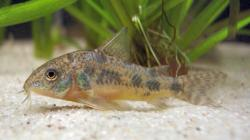 Corydoras(ln6) paleatus - Click for species page