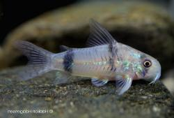 Corydoras(ln6) reynoldsi - Click for species page