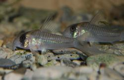Corydoras(ln6) sp. (C040) - Click for species page