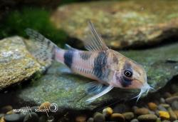 Corydoras(ln6) tukano - Click for species page