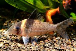 Corydoras(ln8sc4) ephippifer - Click for species data page