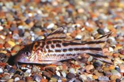 Corydoras(ln8sc4) robineae - Click for species data page