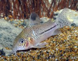 Corydoras(ln9) aff. trilineatus - Click for species page