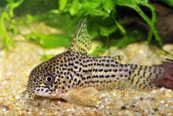 Corydoras(ln9) araguaiaensis - Click for species page
