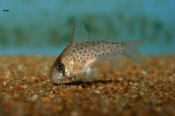 Corydoras(ln9) atropersonatus
