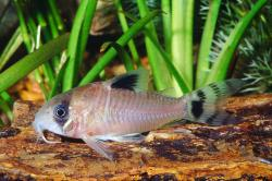 Corydoras(ln9) oiapoquensis - Click for species page