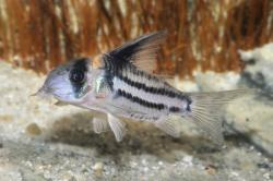 Corydoras(ln9) parallelus - Click for species data page