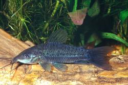 Hoplosternum littorale - Click for species data page
