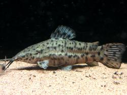 Megalechis thoracata - Click for species data page