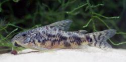 Scleromystax macropterus - Click for species data page