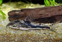 Scleromystax sp. (C112) - Click for species page