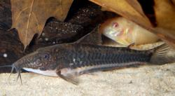 Scleromystax sp. (Cw042) - Click for species page