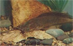 Clarias angolensis - Click for species data page