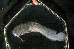 Clarias anguillaris - Click for species data page