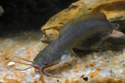 Clarias fuscus - Click for species data page