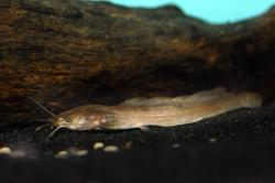 Clarias jaensis - Click for species data page