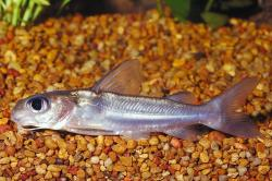 Chrysichthys aluuensis - Click for species data page