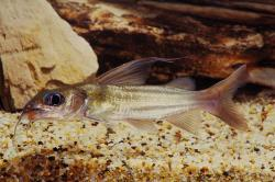 Chrysichthys auratus - Click for species data page