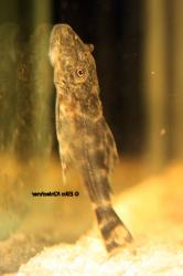 Ancistomus sp. (L208)