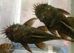 Ancistrus aff. bolivianus - Click for species page