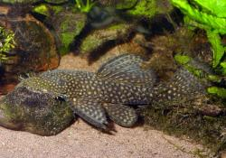 Ancistrus chagresi - Click for species page