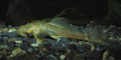 Ancistrus cryptophthalmus - Click for species page