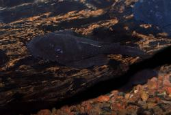 Ancistrus macrophthalmus