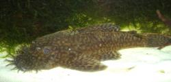 Ancistrus sp. `LOWER RIO NEGRO` - Click for species page