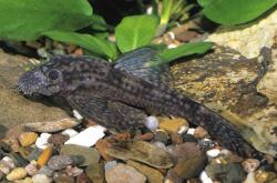 Ancistrus sp. `PUCALLPA` - Click for species page