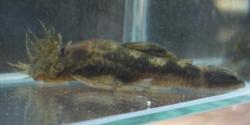 Ancistrus sp. `RIO CHIRGUA` - Click for species page