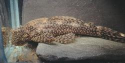 Ancistrus tamboensis - Click for species page