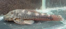 Chaetostoma cf. fischeri - Click for species page