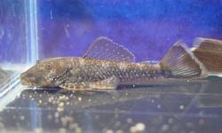Chaetostoma dupouii - Click for species page