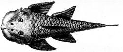 Chaetostoma loborhynchos - Click for species page