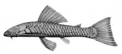 Chaetostoma marginatum - Click for species page