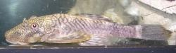 Chaetostoma sp. (5) - Click for species page