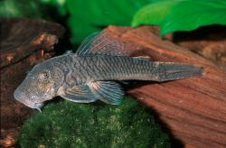 Chaetostoma sp. (L412) - Click for species page