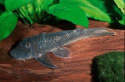 Chaetostoma sp. (L414) - Click for species page