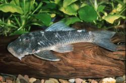 Chaetostoma sp. (L415) - Click for species page
