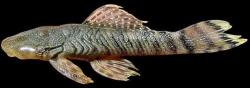 Chaetostoma stannii - Click for species page