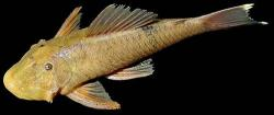 Chaetostoma yurubiense - Click for species page