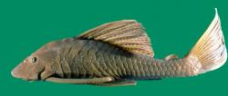 Hypostomus maracaiboensis - Click for species page
