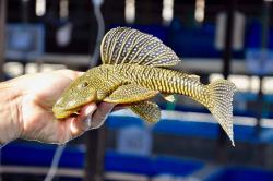Hypostomus sertanejo