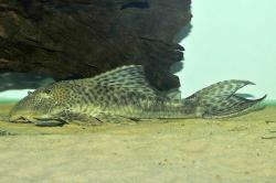 Hypostomus sp. `PARAGUAY`